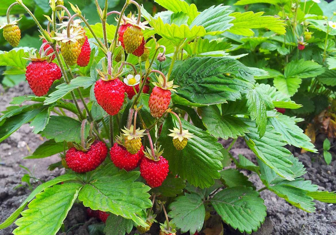 Changes internal color of strawberries
